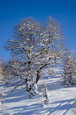 Tree in winter time in Alps — Stock Photo