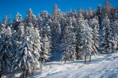 Fir trees in winter time in Alps — Stock Photo
