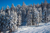 Fir trees in winter time in Alps — Fotografia Stock