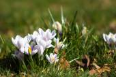 Crocuses - first spring flowers — Stock Photo