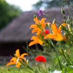 Orange lilies — Stock Photo #62826287