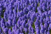 Muscari flowers — Stock Photo