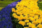 ムスカリの花 — ストック写真