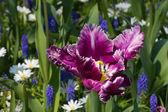 Tulips in Keukenhof park — Stock Photo