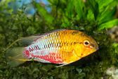 Apistogramma — Stock Photo
