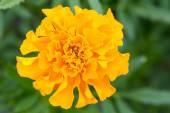 Flower with orange blossom — Stock Photo