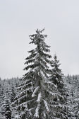 Snowy tree in wood — Stock Photo