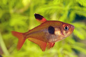 Tetra fish — Stock Photo
