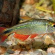 Tetra fish — Stock Photo #63946601