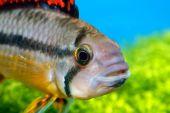 Portrait of Apistogramma fish — Stock Photo