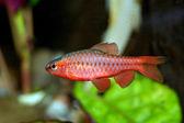 Puntius fish — Stok fotoğraf