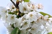 Flowers of the plum blossoms — Stock Photo
