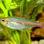 Tetra fish — Stock Photo #72317851