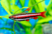 Nannostomus fish — Stock Photo