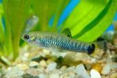Poecilia fish — Stock Photo