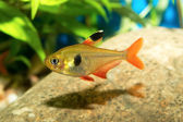 Poissons Tetra — Photo