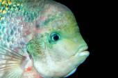 Portrait of cichlid fish — Stock Photo