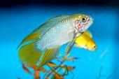 Apistogramma fish — Stock Photo