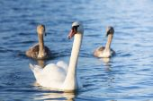 Youngs and one white adult swan at lake — Stock Photo