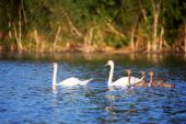 Youngs and two white adult swan at lake — Stock Photo