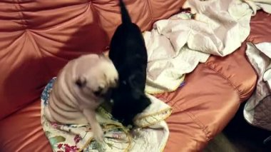 Pug and Brabant playing on the couch — Stock Video
