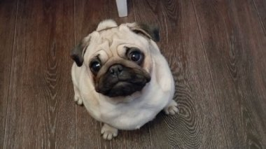 The dog Pug looking into camera — Stockvideo