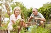 Senior Couple Working On Allotment — Stock Photo