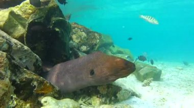 Moray Eel in mouth of home in coral reef. — Stock Video