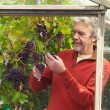 Mature Man Cultivating Grapes — Stock Photo #71521357