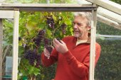 Mature Man Cultivating Grapes — Stock Photo