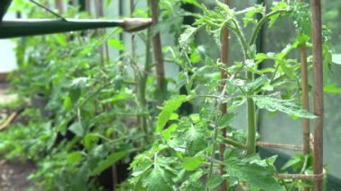 Watering Tomatoes In Greenhouse — Stock Video