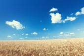 Wheat field and sunny day — Stockfoto