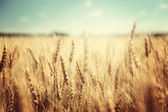 Golden wheat field and sunny day — Stock Photo