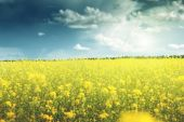 Field of rapeseed — Stock Photo