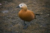 Ruddy Shelduck in nature — Stock Photo