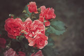 Vintage rose background — Stock Photo