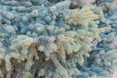 Blue spruce tree branch closeup, background — Stock Photo