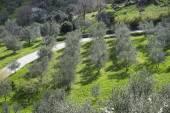 Tuscany olive tree grove — Stock Photo
