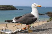 The gull of St Malo — Stock Photo