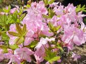 Pink flowers Rhododendron close-up — Stock Photo
