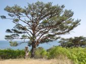 Alone Pinus densiflora by the sea — Stock Photo