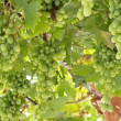 Vine with green grapes lit by sun — Stock Photo #59266839