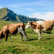 Two cows in the austrian alps — Stock Photo #59756933