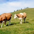 Two mottled cows standing in the meadow — Stock Photo #59757001