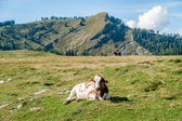 Resting Cow in the Alps — Stock Photo