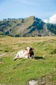 Single Cow in the Alps — Stock Photo