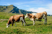 Two cows in the austrian alps — Stock Photo