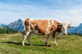 One mottled cow standing in a meadow — Stock Photo