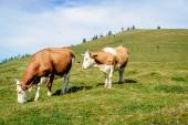 Two mottled cows standing in the meadow — Stock Photo