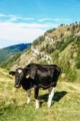 Black cow standing in a meadow — Stock Photo
